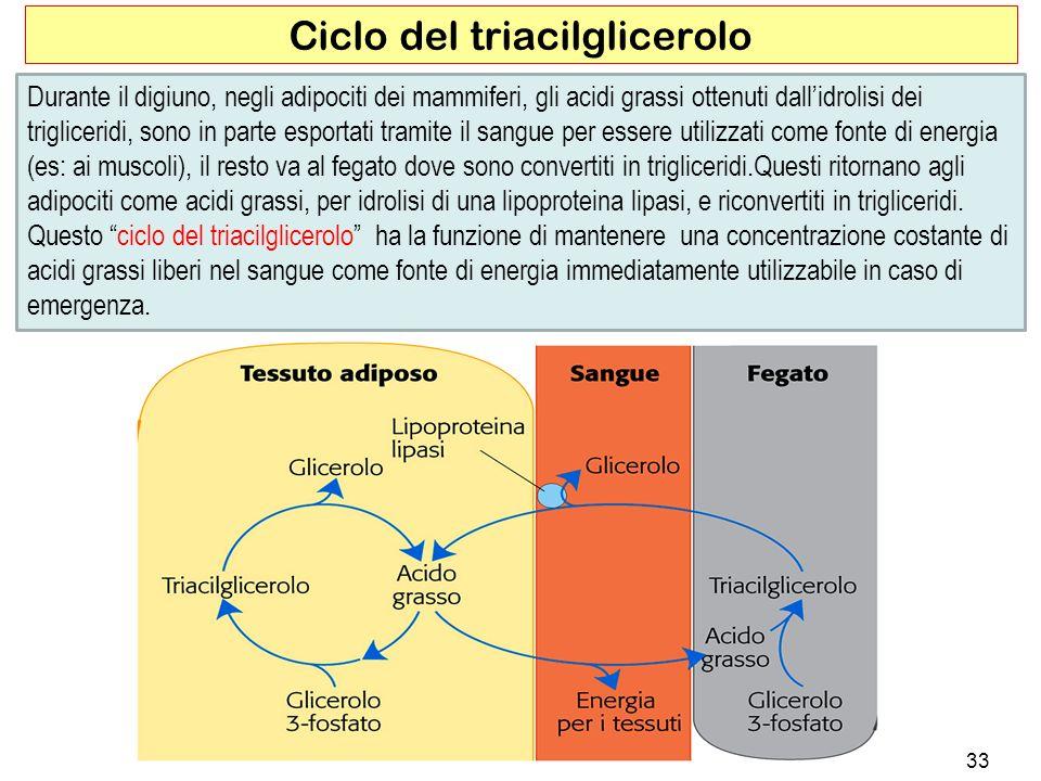 33 Ciclo del triacilglicerolo Durante il digiuno, negli adipociti dei mammiferi, gli acidi grassi ottenuti dallidrolisi dei trigliceridi, sono in parte esportati tramite il sangue per essere utilizzati come fonte di energia (es: ai muscoli), il resto va al fegato dove sono convertiti in trigliceridi.Questi ritornano agli adipociti come acidi grassi, per idrolisi di una lipoproteina lipasi, e riconvertiti in trigliceridi.