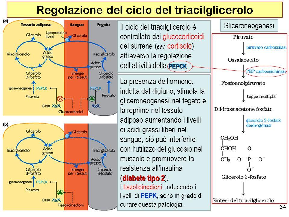 34 Regolazione del ciclo del triacilglicerolo PEPCK Il ciclo del triacilglicerolo è controllato dai glucocorticoidi del surrene ( es: cortisolo) attraverso la regolazione dellattività della PEPCK diabete tipo 2 La presenza dellormone, indotta dal digiuno, stimola la gliceroneogenesi nel fegato e la reprime nel tessuto adiposo aumentando i livelli di acidi grassi liberi nel sangue; ciò può interferire con lutilizzo del glucosio nel muscolo e promuovere la resistenza allinsulina (diabete tipo 2).