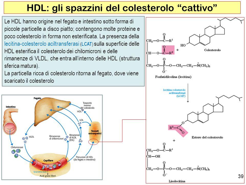 39 HDL: gli spazzini del colesterolo cattivo Le HDL hanno origine nel fegato e intestino sotto forma di piccole particelle a disco piatto; contengono molte proteine e poco colesterolo in forma non esterificata.