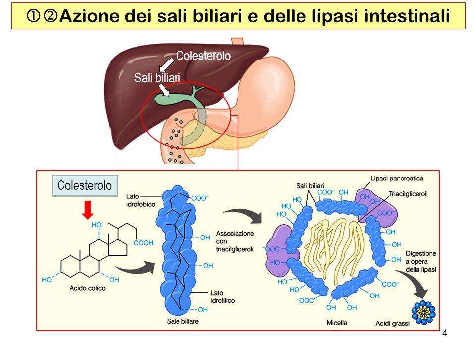 4 Azione dei sali biliari e delle lipasi intestinali Colesterolo Sali biliari Colesterolo