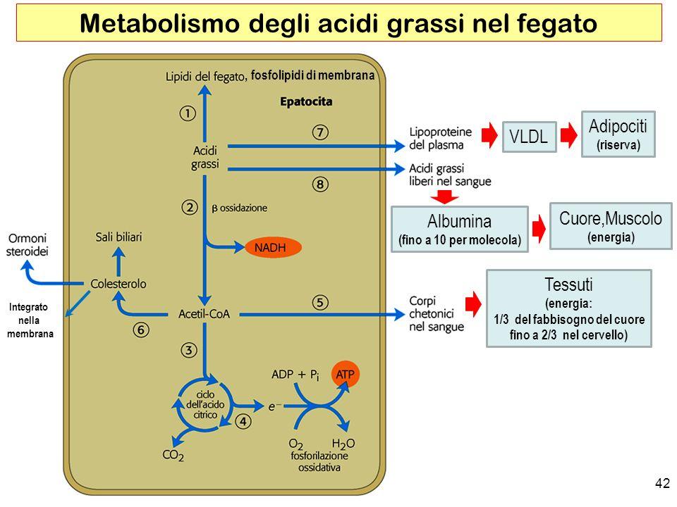 , fosfolipidi di membrana 42 Metabolismo degli acidi grassi nel fegato VLDL Adipociti (riserva) Albumina (fino a 10 per molecola) Cuore,Muscolo (energia) Tessuti (energia: 1/3 del fabbisogno del cuore fino a 2/3 nel cervello) Integrato nella membrana