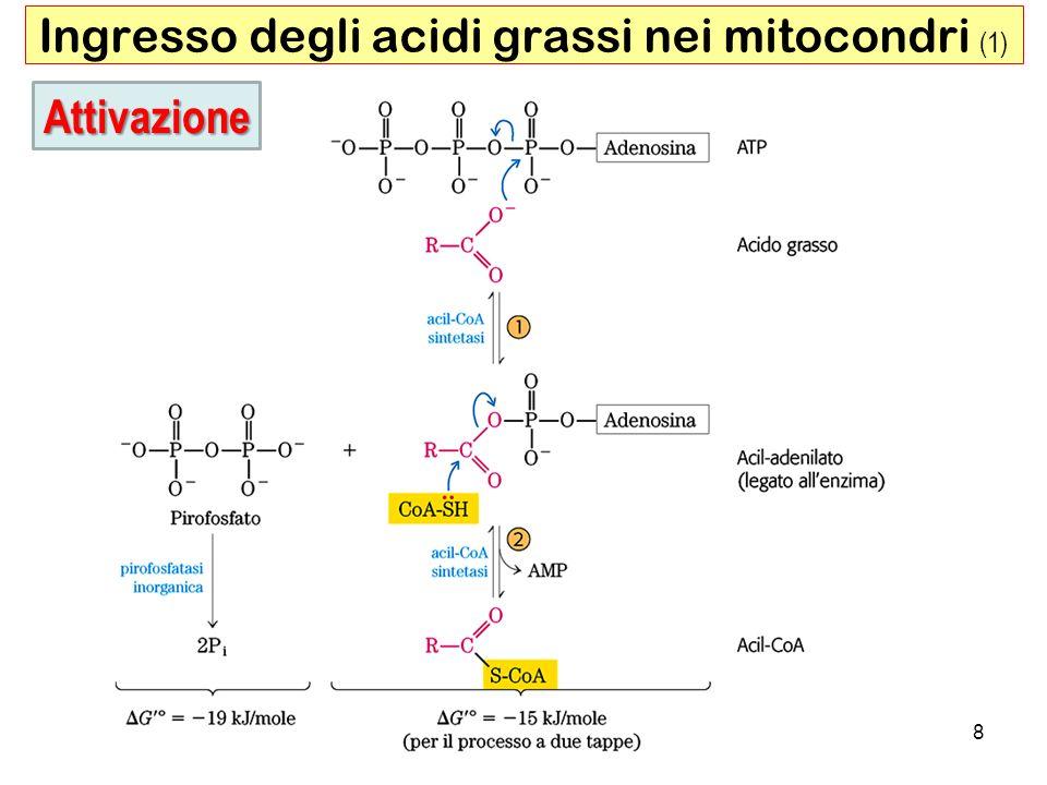 9 Ingresso degli acidi grassi nei mitocondri (2) Malonil-CoA Inibita dal Malonil-CoA, primo intermedio della biosintesi degli acidi grassi Trasporto