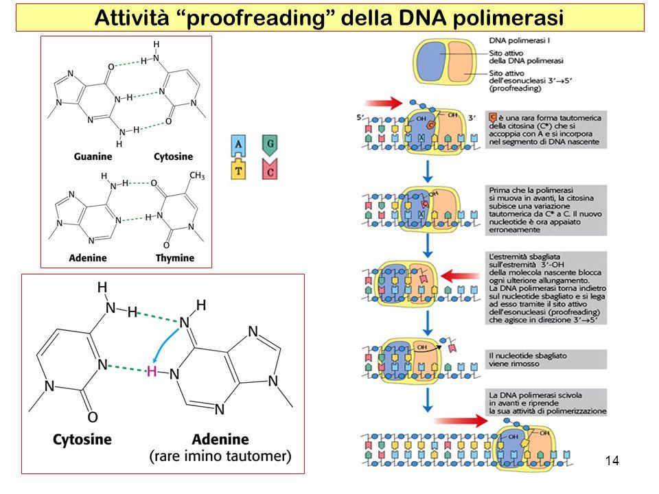 14 Attività proofreading della DNA polimerasi