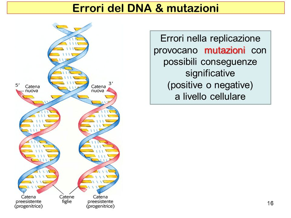 16 mutazioni Errori nella replicazione provocano mutazioni con possibili conseguenze significative (positive o negative) a livello cellulare Errori de