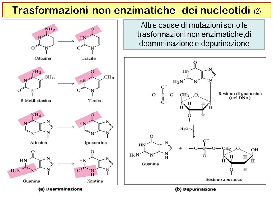 19 Altre cause di mutazioni sono le trasformazioni non enzimatiche,di deamminazione e depurinazione Trasformazioni non enzimatiche dei nucleotidi (2)