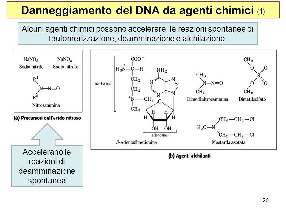 20 Alcuni agenti chimici possono accelerare le reazioni spontanee di tautomerizzazione, deamminazione e alchilazione Danneggiamento del DNA da agenti