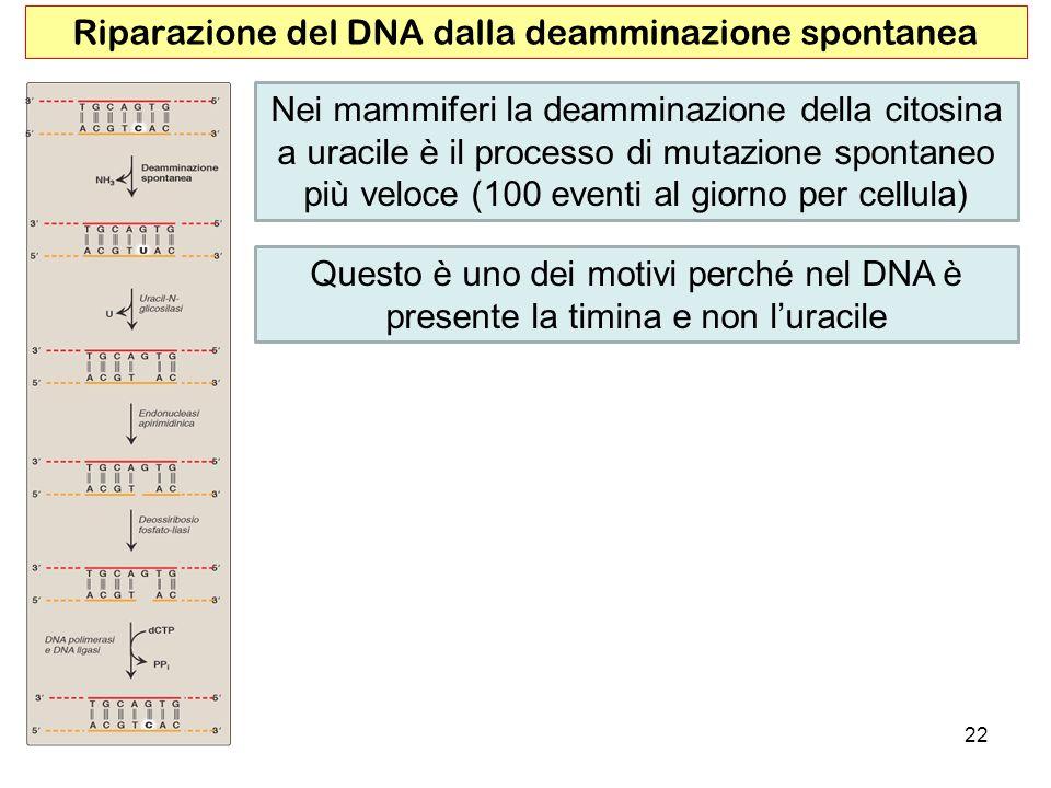 22 Riparazione del DNA dalla deamminazione spontanea Nei mammiferi la deamminazione della citosina a uracile è il processo di mutazione spontaneo più