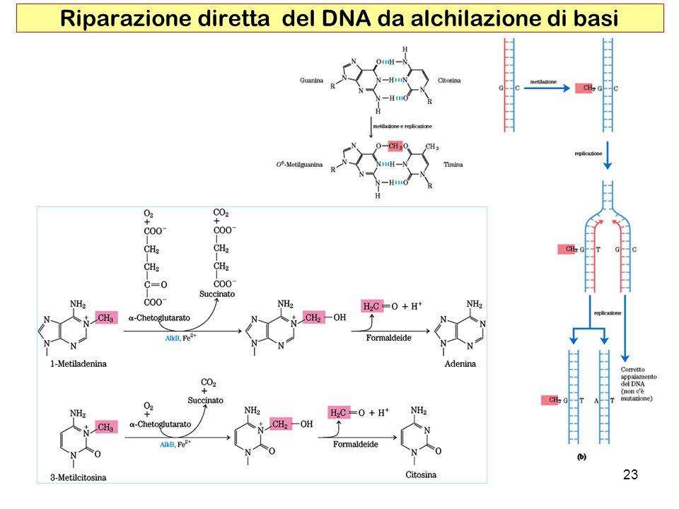 23 Riparazione diretta del DNA da alchilazione di basi