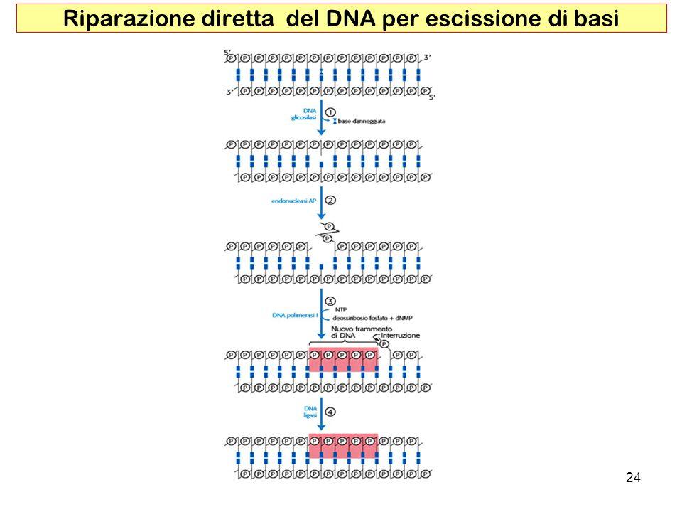 24 Riparazione diretta del DNA per escissione di basi