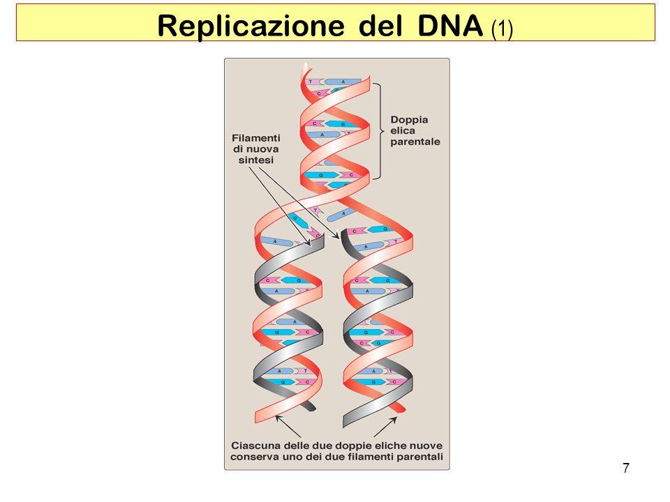 7 Replicazione del DNA (1)