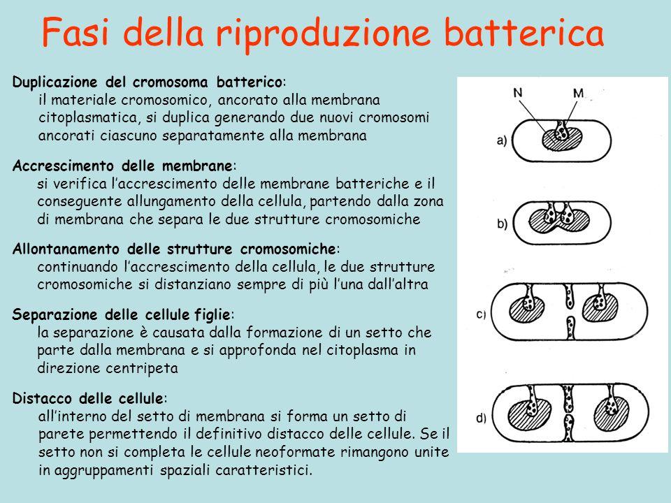 Fasi della riproduzione batterica Duplicazione del cromosoma batterico: il materiale cromosomico, ancorato alla membrana citoplasmatica, si duplica ge