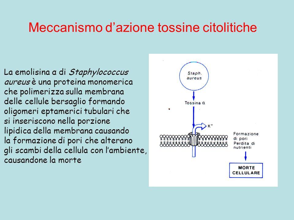 Meccanismo dazione tossine citolitiche La emolisina α di Staphylococcus aureus è una proteina monomerica che polimerizza sulla membrana delle cellule bersaglio formando oligomeri eptamerici tubulari che si inseriscono nella porzione lipidica della membrana causando la formazione di pori che alterano gli scambi della cellula con lambiente, causandone la morte