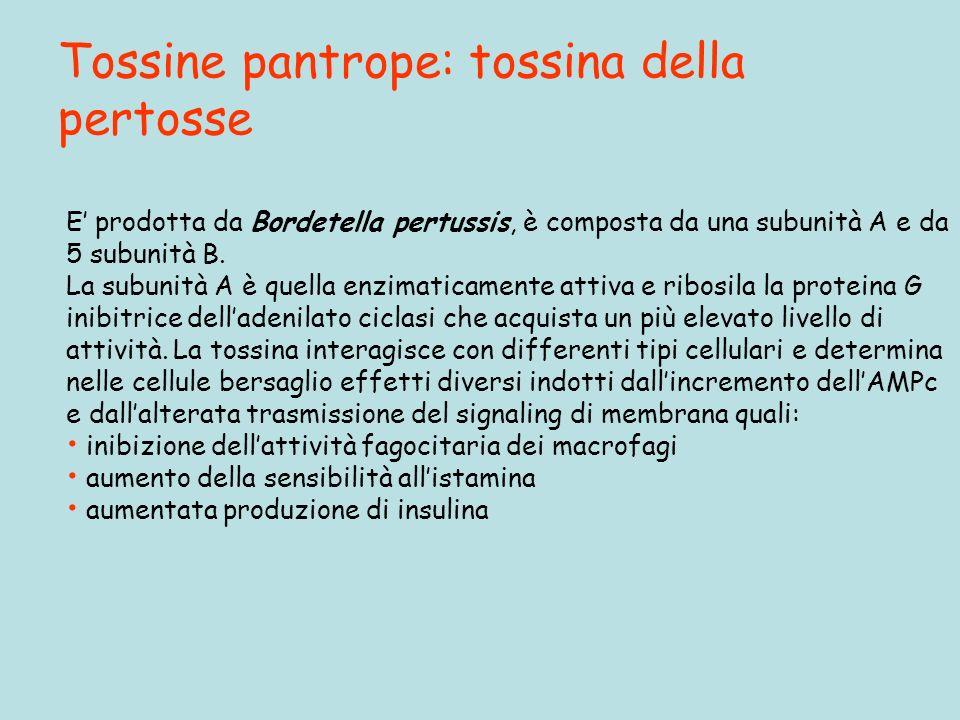 Tossine pantrope: tossina della pertosse E prodotta da Bordetella pertussis, è composta da una subunità A e da 5 subunità B.