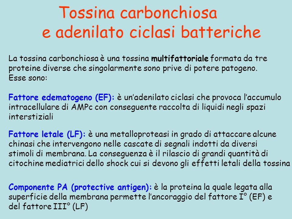Tossina carbonchiosa e adenilato ciclasi batteriche Componente PA (protective antigen): è la proteina la quale legata alla superficie della membrana permette lancoraggio del fattore I° (EF) e del fattore III° (LF) La tossina carbonchiosa è una tossina multifattoriale formata da tre proteine diverse che singolarmente sono prive di potere patogeno.