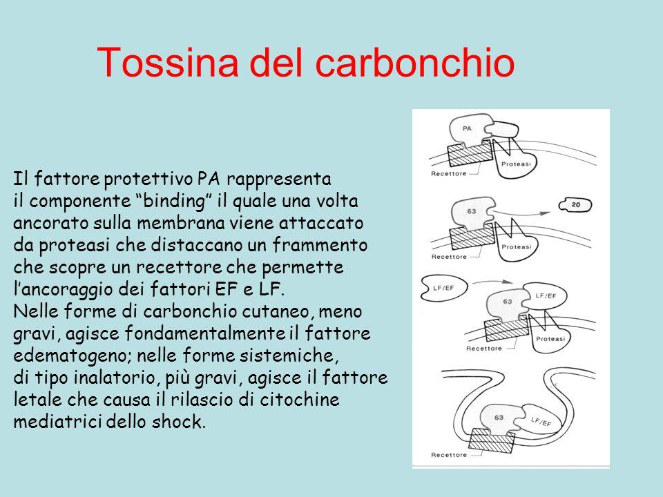 Tossina del carbonchio Il fattore protettivo PA rappresenta il componente binding il quale una volta ancorato sulla membrana viene attaccato da protea