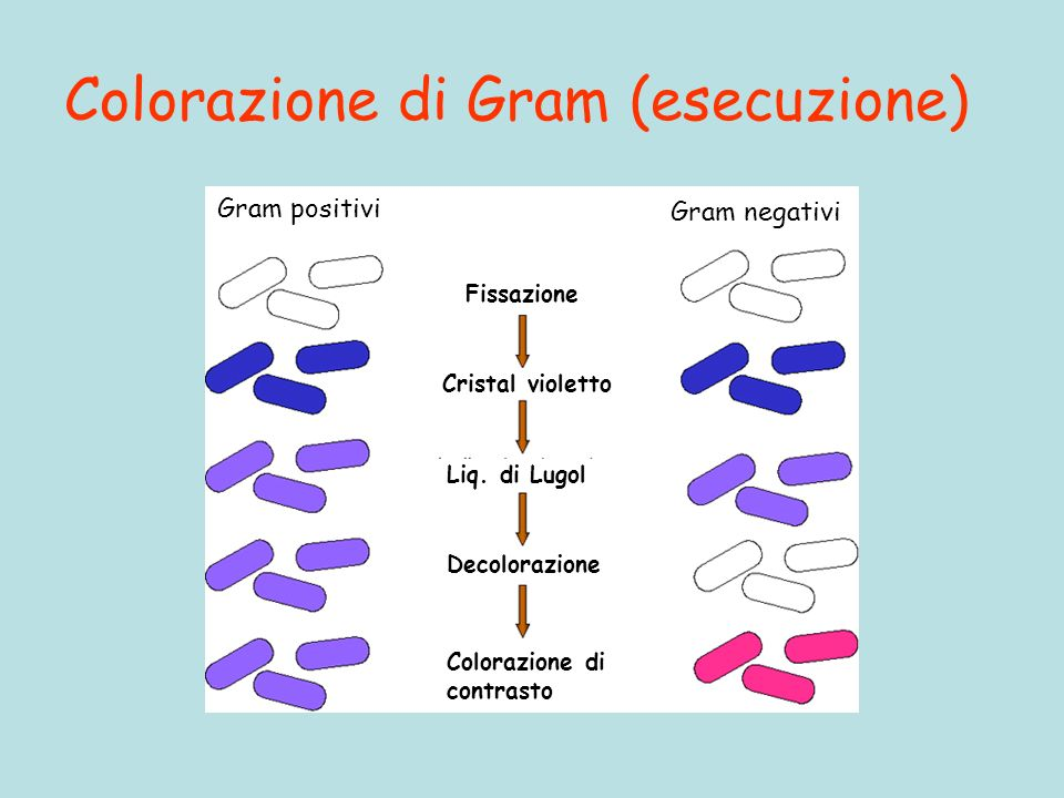 Colorazione di Gram (esecuzione) Gram positivi Gram negativi Fissazione Cristal violetto Liq. di Lugol Decolorazione Colorazione di contrasto