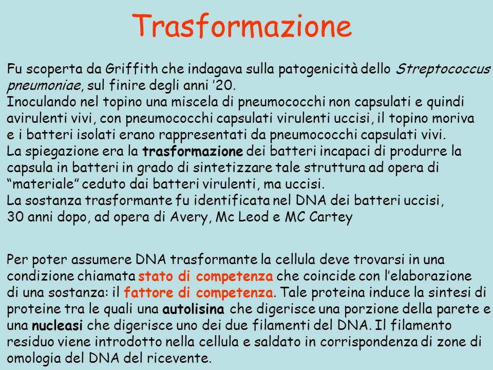 Trasformazione Per poter assumere DNA trasformante la cellula deve trovarsi in una condizione chiamata stato di competenza che coincide con lelaborazione di una sostanza: il fattore di competenza.