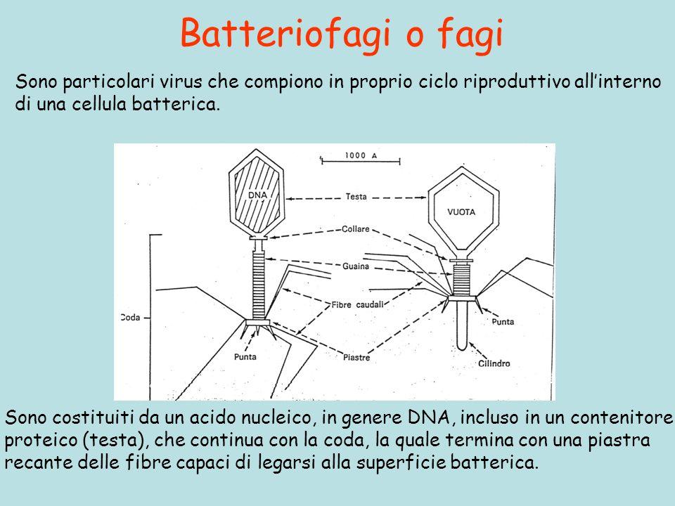 Batteriofagi o fagi Sono particolari virus che compiono in proprio ciclo riproduttivo allinterno di una cellula batterica. Sono costituiti da un acido