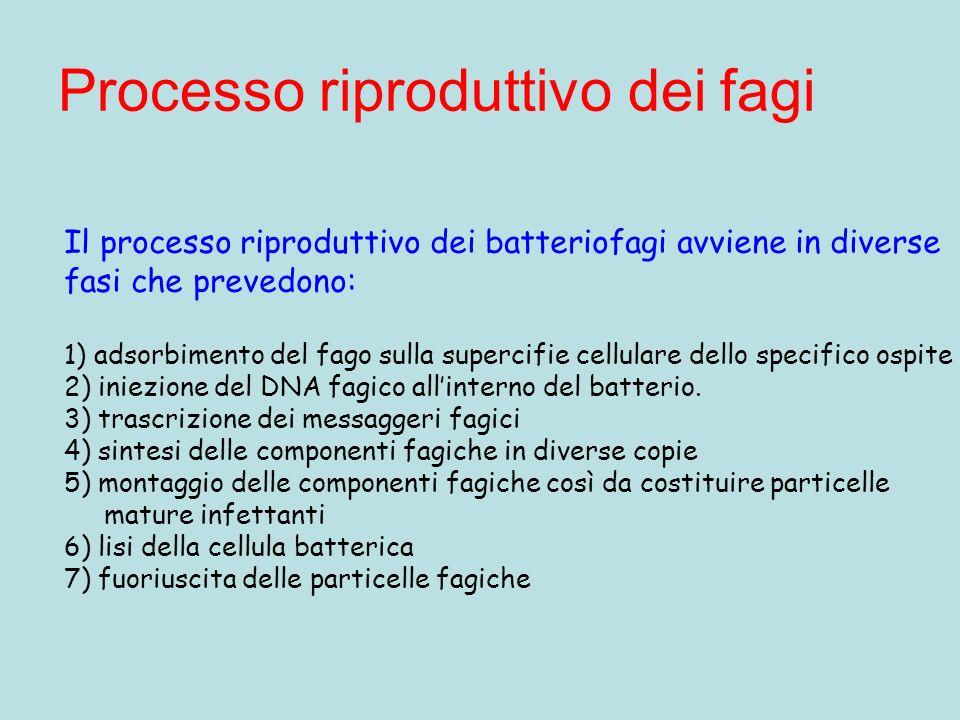 Processo riproduttivo dei fagi Il processo riproduttivo dei batteriofagi avviene in diverse fasi che prevedono: 1) adsorbimento del fago sulla superci