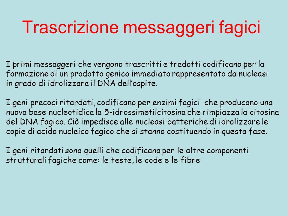 Trascrizione messaggeri fagici I primi messaggeri che vengono trascritti e tradotti codificano per la formazione di un prodotto genico immediato rappr
