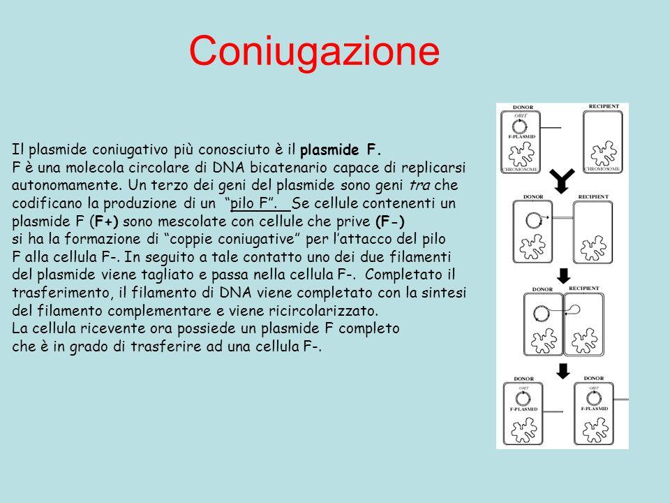 Coniugazione Il plasmide coniugativo più conosciuto è il plasmide F. F è una molecola circolare di DNA bicatenario capace di replicarsi autonomamente.