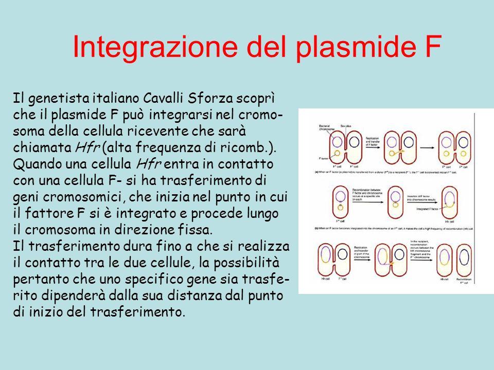 Integrazione del plasmide F Il genetista italiano Cavalli Sforza scoprì che il plasmide F può integrarsi nel cromo- soma della cellula ricevente che sarà chiamata Hfr (alta frequenza di ricomb.).