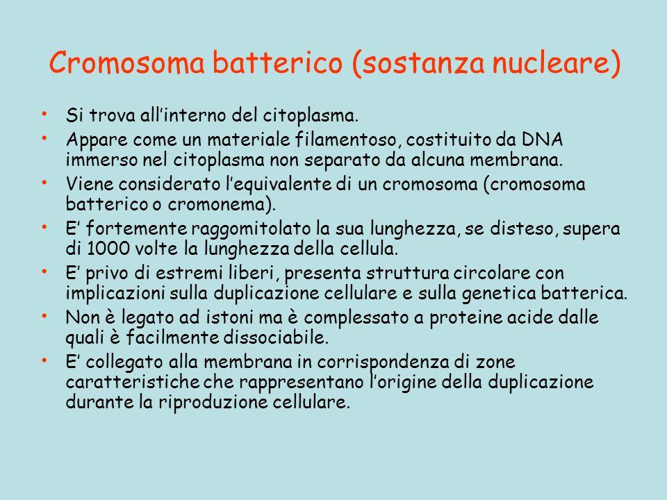 Cromosoma batterico (sostanza nucleare) Si trova allinterno del citoplasma.