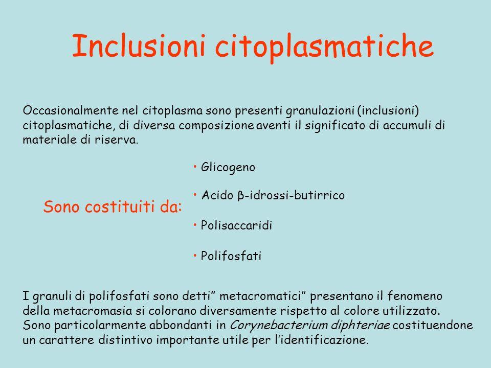Inclusioni citoplasmatiche Occasionalmente nel citoplasma sono presenti granulazioni (inclusioni) citoplasmatiche, di diversa composizione aventi il s