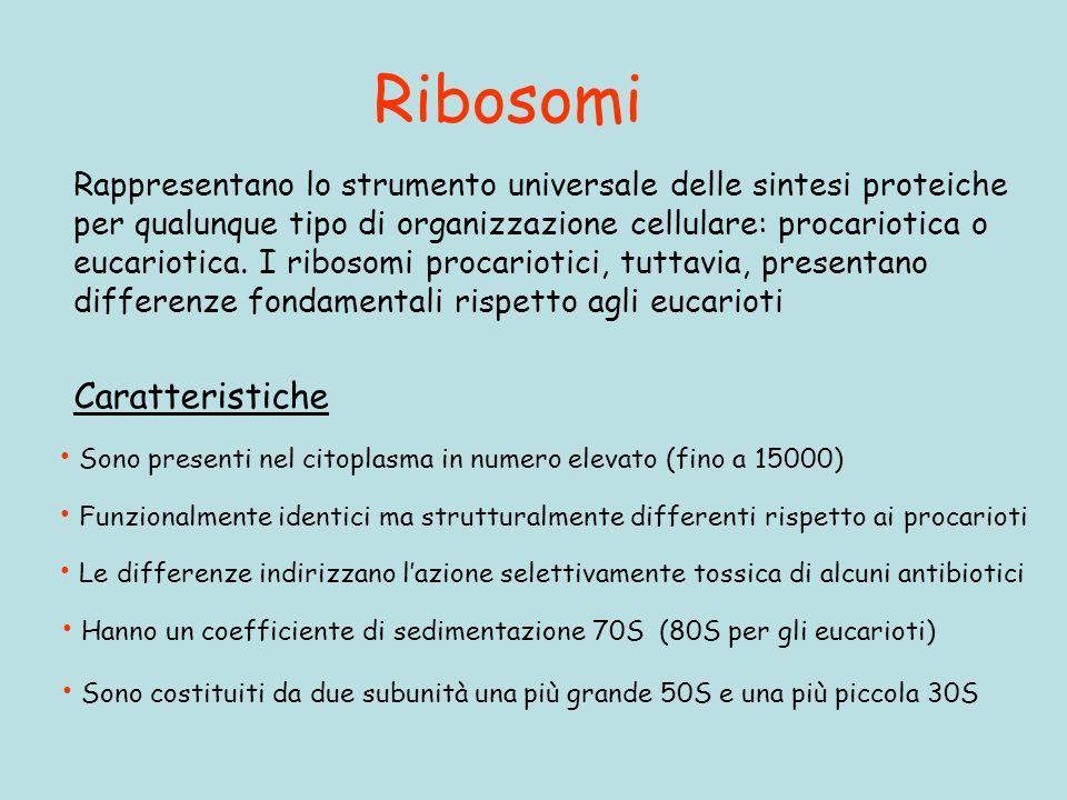 Ribosomi Rappresentano lo strumento universale delle sintesi proteiche per qualunque tipo di organizzazione cellulare: procariotica o eucariotica.