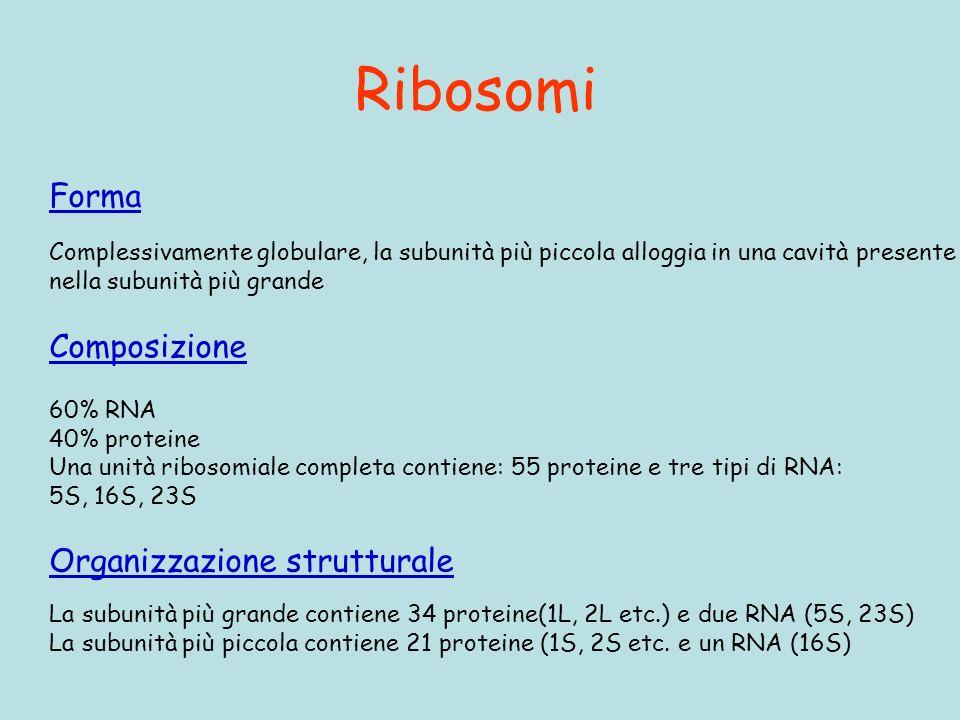 Ribosomi Forma Complessivamente globulare, la subunità più piccola alloggia in una cavità presente nella subunità più grande Composizione 60% RNA 40% proteine Una unità ribosomiale completa contiene: 55 proteine e tre tipi di RNA: 5S, 16S, 23S Organizzazione strutturale La subunità più grande contiene 34 proteine(1L, 2L etc.) e due RNA (5S, 23S) La subunità più piccola contiene 21 proteine (1S, 2S etc.