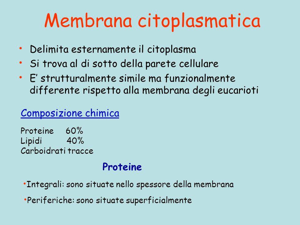 Membrana citoplasmatica Delimita esternamente il citoplasma Si trova al di sotto della parete cellulare E strutturalmente simile ma funzionalmente differente rispetto alla membrana degli eucarioti Composizione chimica Proteine 60% Lipidi 40% Carboidrati tracce Proteine Integrali: sono situate nello spessore della membrana Periferiche: sono situate superficialmente