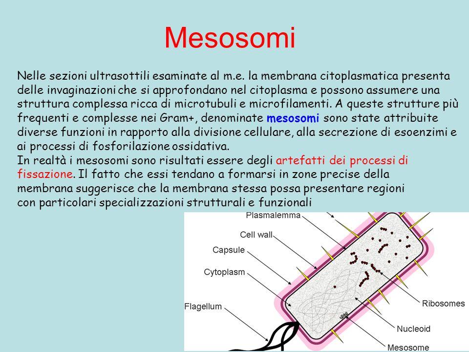 Mesosomi Nelle sezioni ultrasottili esaminate al m.e. la membrana citoplasmatica presenta delle invaginazioni che si approfondano nel citoplasma e pos