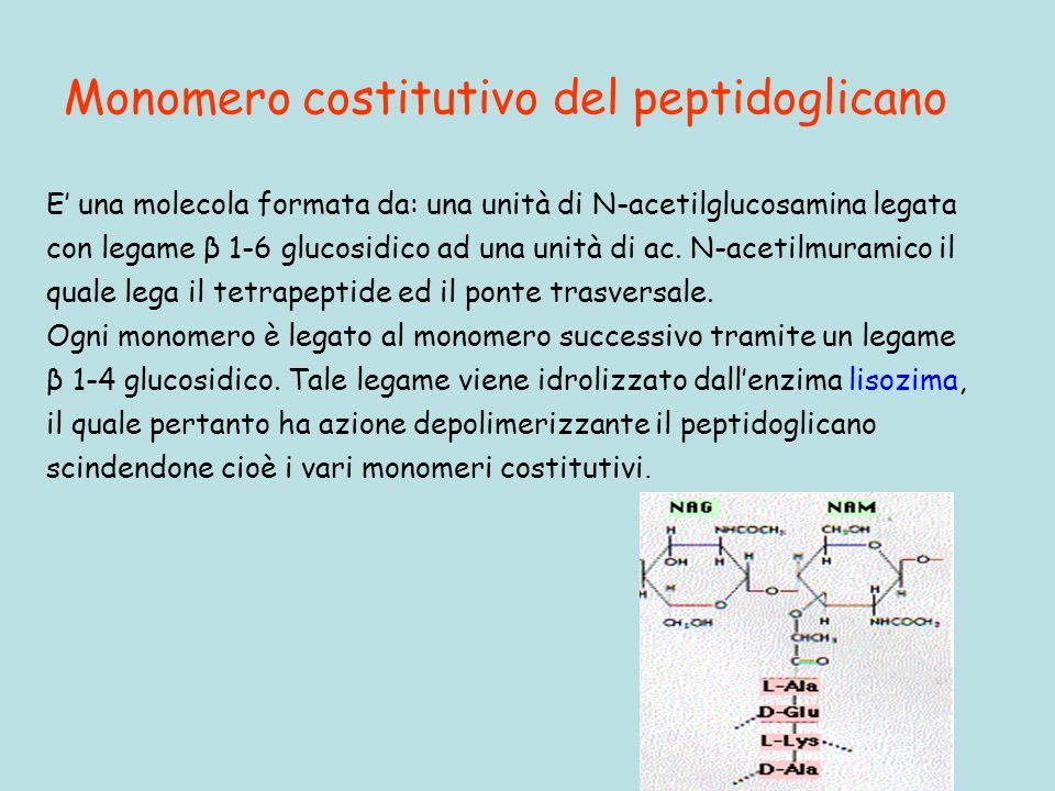 Monomero costitutivo del peptidoglicano E una molecola formata da: una unità di N-acetilglucosamina legata con legame β 1-6 glucosidico ad una unità di ac.