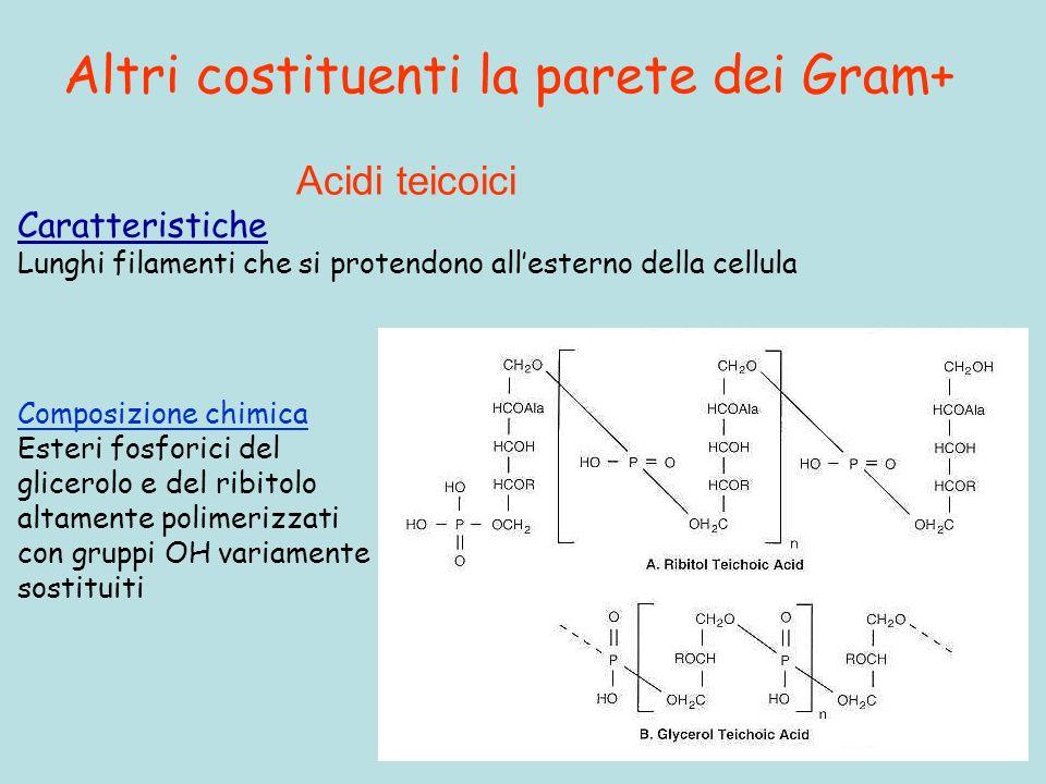 Altri costituenti la parete dei Gram+ Acidi teicoici Caratteristiche Lunghi filamenti che si protendono allesterno della cellula Composizione chimica Esteri fosforici del glicerolo e del ribitolo altamente polimerizzati con gruppi OH variamente sostituiti