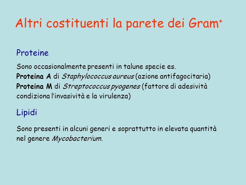 Altri costituenti la parete dei Gram + Proteine Sono occasionalmente presenti in talune specie es.