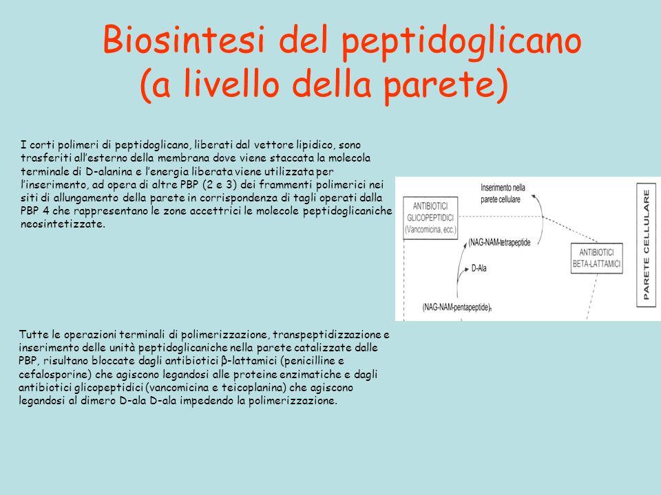 Biosintesi del peptidoglicano (a livello della parete) Tutte le operazioni terminali di polimerizzazione, transpeptidizzazione e inserimento delle unità peptidoglicaniche nella parete catalizzate dalle PBP, risultano bloccate dagli antibiotici β-lattamici (penicilline e cefalosporine) che agiscono legandosi alle proteine enzimatiche e dagli antibiotici glicopeptidici (vancomicina e teicoplanina) che agiscono legandosi al dimero D-ala D-ala impedendo la polimerizzazione.