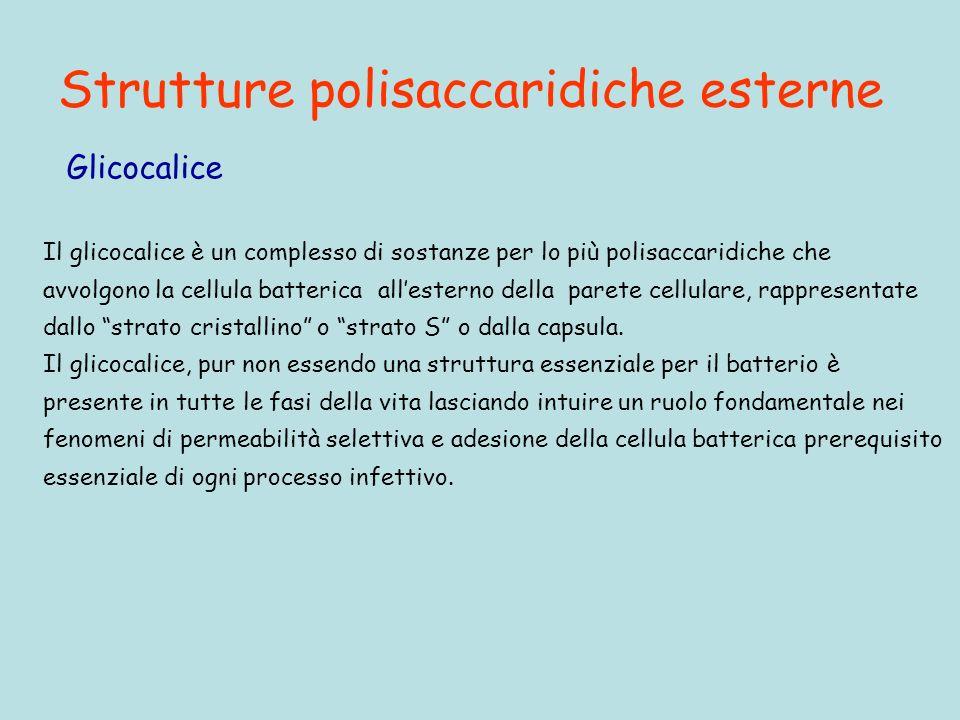 Strutture polisaccaridiche esterne Il glicocalice è un complesso di sostanze per lo più polisaccaridiche che avvolgono la cellula batterica allesterno della parete cellulare, rappresentate dallo strato cristallino o strato S o dalla capsula.