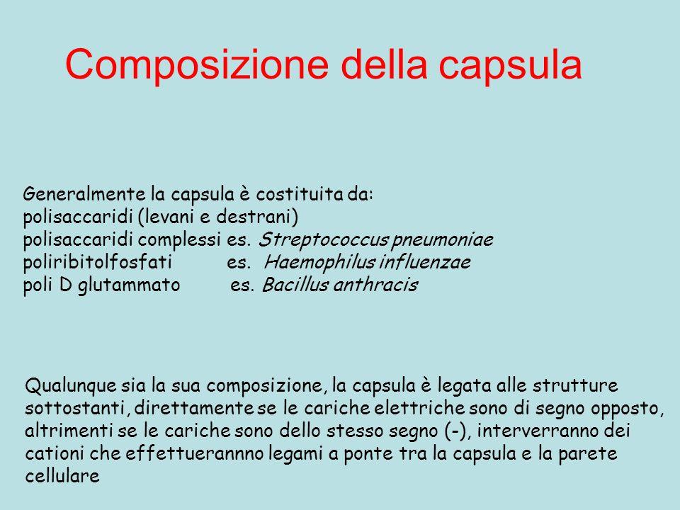 Composizione della capsula Generalmente la capsula è costituita da: polisaccaridi (levani e destrani) polisaccaridi complessi es. Streptococcus pneumo