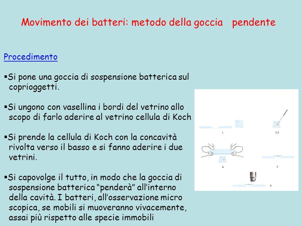 Movimento dei batteri: metodo della goccia pendente Procedimento Si pone una goccia di sospensione batterica sul coprioggetti. Si ungono con vasellina