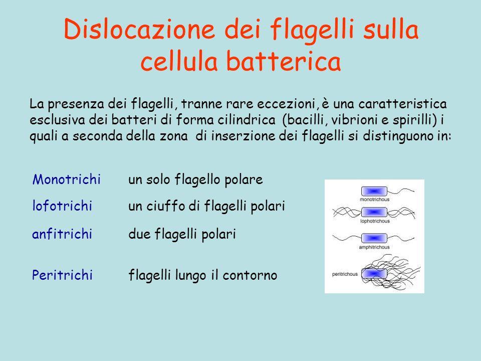 Dislocazione dei flagelli sulla cellula batterica Peritrichi flagelli lungo il contorno La presenza dei flagelli, tranne rare eccezioni, è una caratteristica esclusiva dei batteri di forma cilindrica (bacilli, vibrioni e spirilli) i quali a seconda della zona di inserzione dei flagelli si distinguono in: Monotrichi un solo flagello polare lofotrichi un ciuffo di flagelli polari anfitrichi due flagelli polari