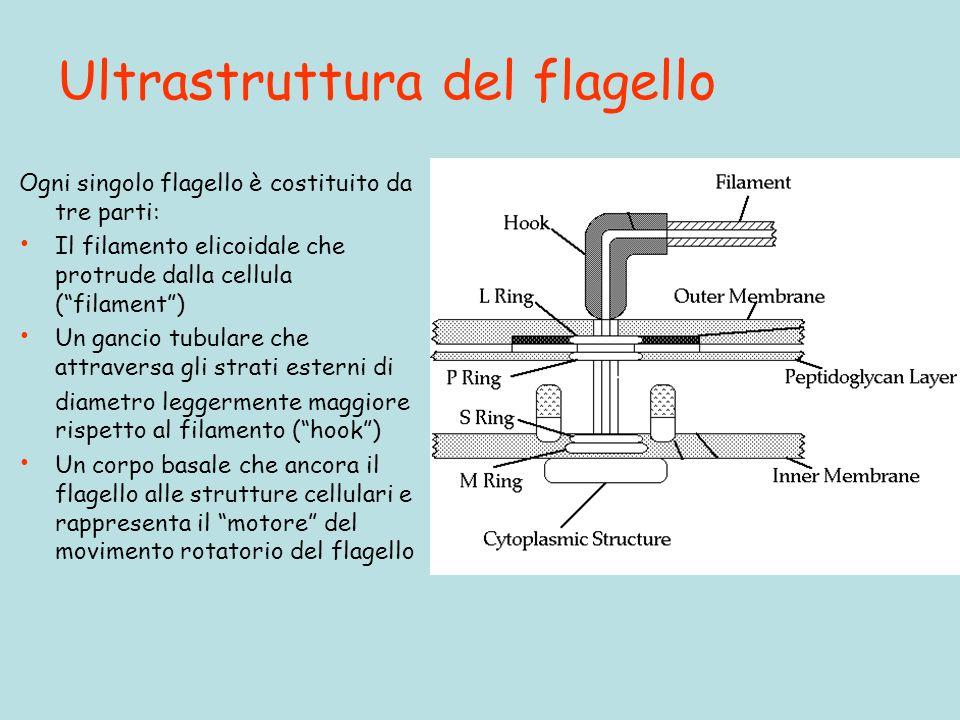 Ultrastruttura del flagello Ogni singolo flagello è costituito da tre parti: Il filamento elicoidale che protrude dalla cellula (filament) Un gancio t
