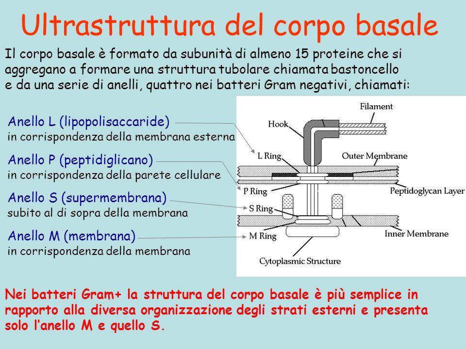 Ultrastruttura del corpo basale Nei batteri Gram+ la struttura del corpo basale è più semplice in rapporto alla diversa organizzazione degli strati esterni e presenta solo lanello M e quello S.