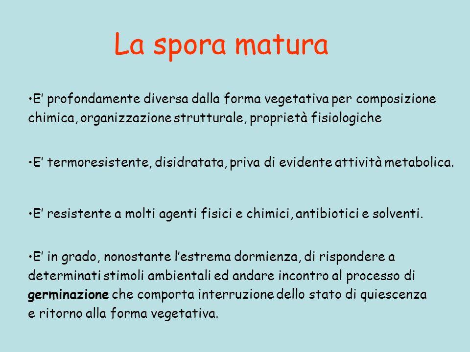 La spora matura E profondamente diversa dalla forma vegetativa per composizione chimica, organizzazione strutturale, proprietà fisiologiche E termores