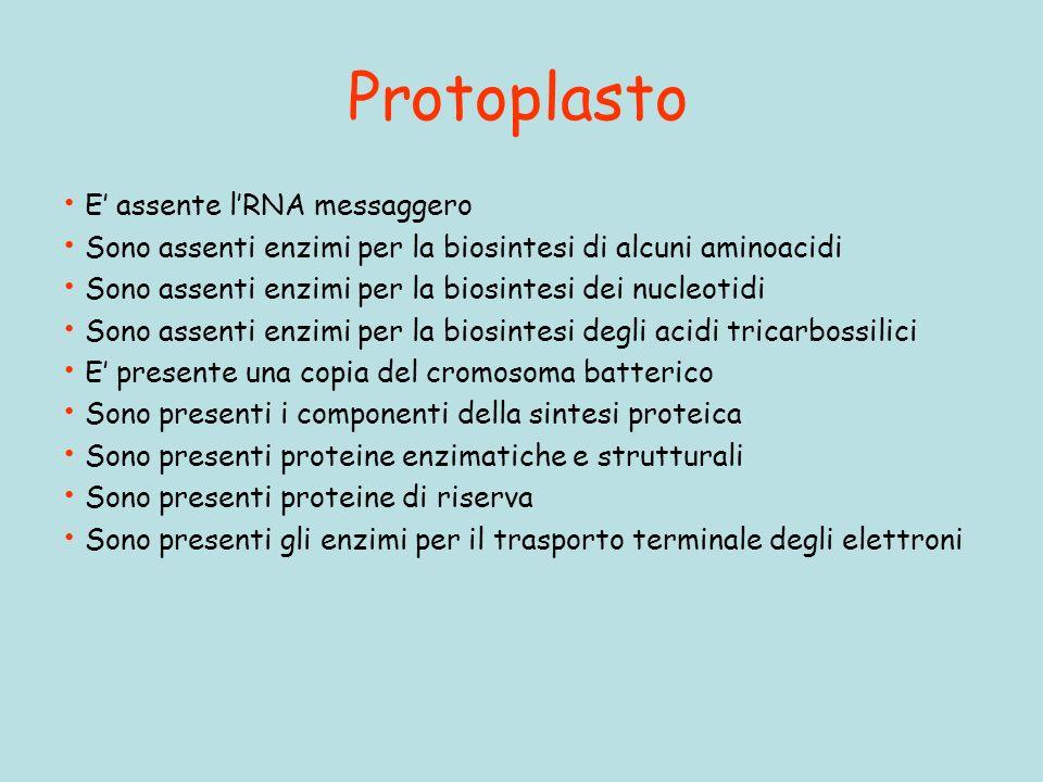 Protoplasto E assente lRNA messaggero Sono assenti enzimi per la biosintesi di alcuni aminoacidi Sono assenti enzimi per la biosintesi dei nucleotidi