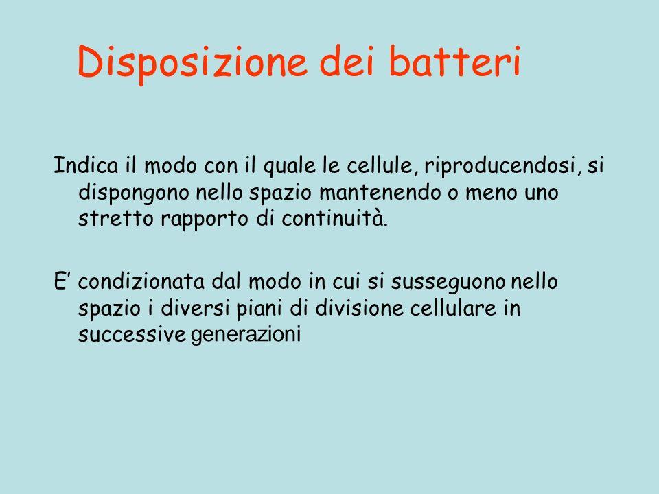 Disposizione dei batteri Indica il modo con il quale le cellule, riproducendosi, si dispongono nello spazio mantenendo o meno uno stretto rapporto di continuità.