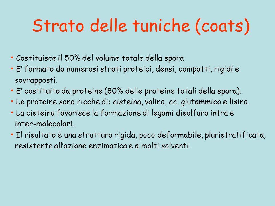 Strato delle tuniche (coats) Costituisce il 50% del volume totale della spora E formato da numerosi strati proteici, densi, compatti, rigidi e sovrapposti.