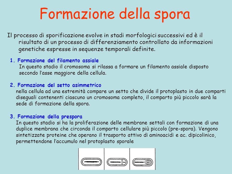 Formazione della spora Il processo di sporificazione evolve in stadi morfologici successivi ed è il risultato di un processo di differenziamento contr