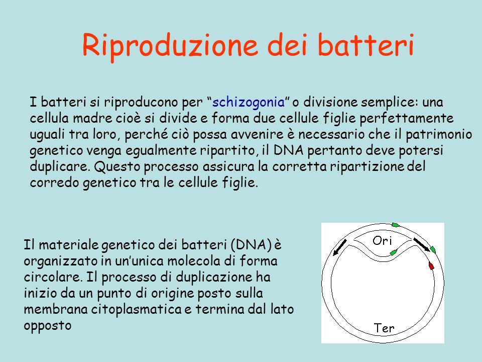 Riproduzione dei batteri I batteri si riproducono per schizogonia o divisione semplice: una cellula madre cioè si divide e forma due cellule figlie pe