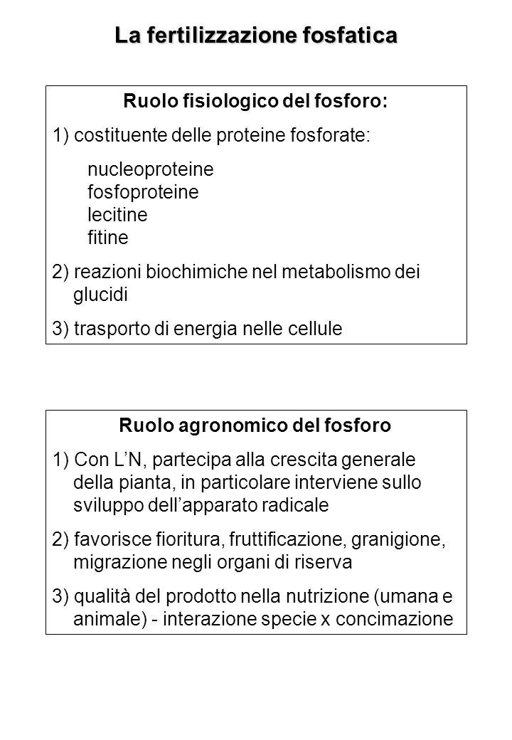 La fertilizzazione fosfatica Ruolo fisiologico del fosforo: 1) costituente delle proteine fosforate: nucleoproteine fosfoproteine lecitine fitine 2) reazioni biochimiche nel metabolismo dei glucidi 3) trasporto di energia nelle cellule Ruolo agronomico del fosforo 1) Con LN, partecipa alla crescita generale della pianta, in particolare interviene sullo sviluppo dellapparato radicale 2) favorisce fioritura, fruttificazione, granigione, migrazione negli organi di riserva 3) qualità del prodotto nella nutrizione (umana e animale) - interazione specie x concimazione