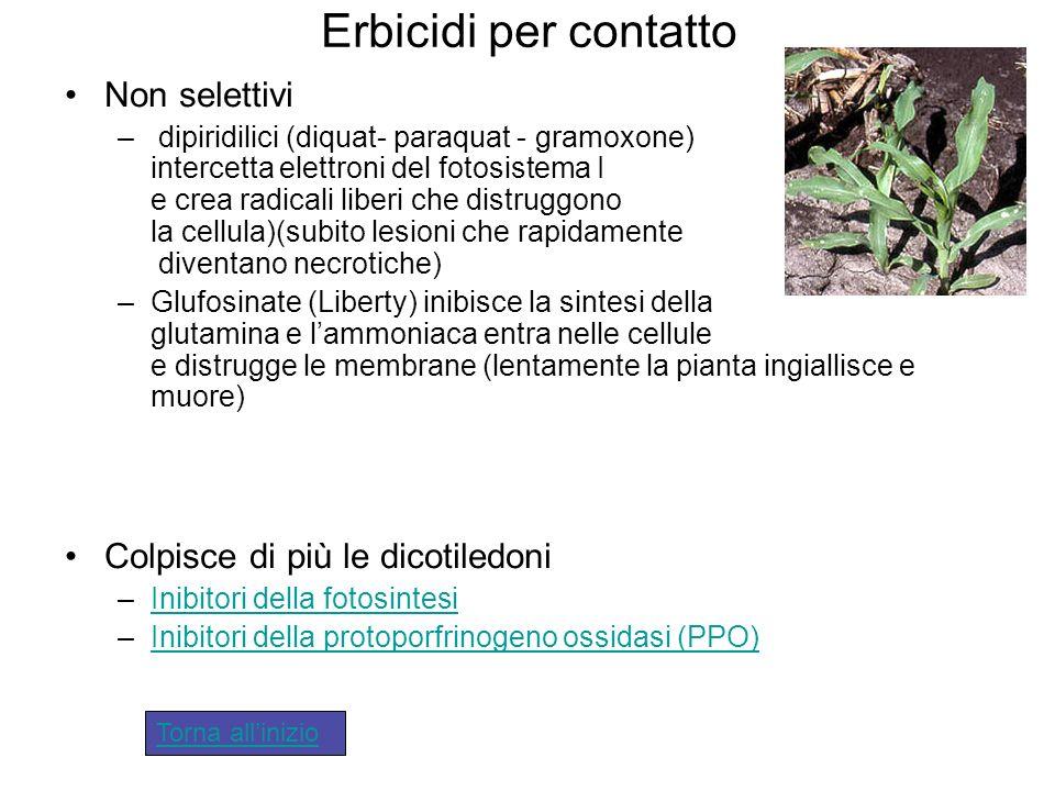 Erbicidi per contatto Non selettivi – dipiridilici (diquat- paraquat - gramoxone) intercetta elettroni del fotosistema I e crea radicali liberi che di